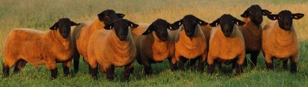 Английска порода овчарски породи: външен вид, описание на овце и порода овце