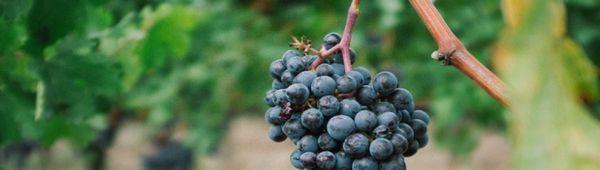 Бактериален рак на гроздето: признаци и методи на лечение