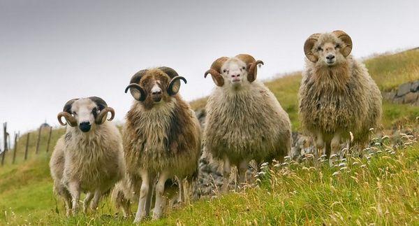 Агнешка ферма: развъждането на овцете като бизнес