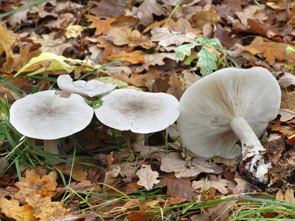 Біла рядовка: як відрізнити від їстівних грибів