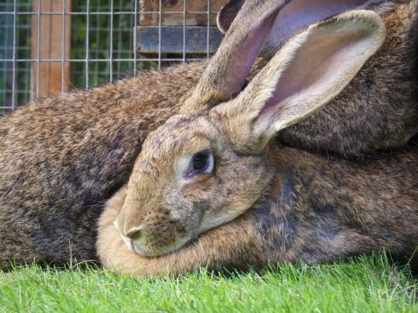 Бременни зайци