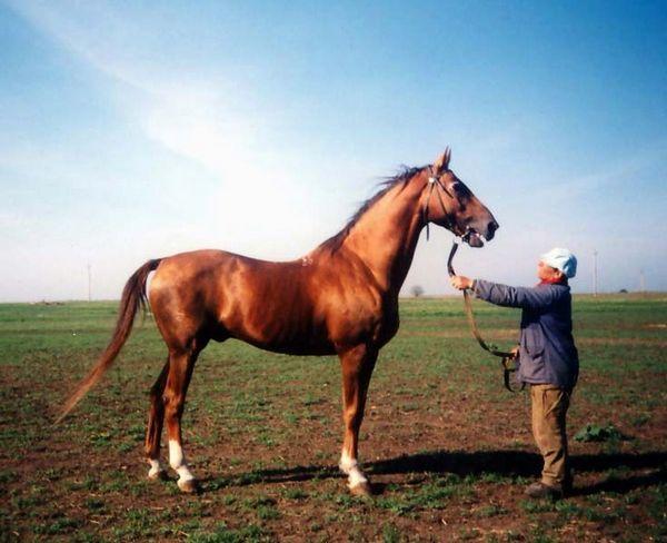 Budennovská plemena koní