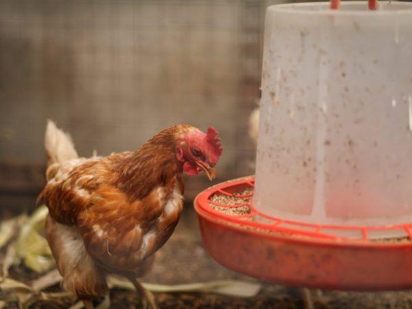 Бункерна пилешка хранилка