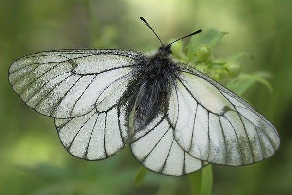 Hloh motýľ