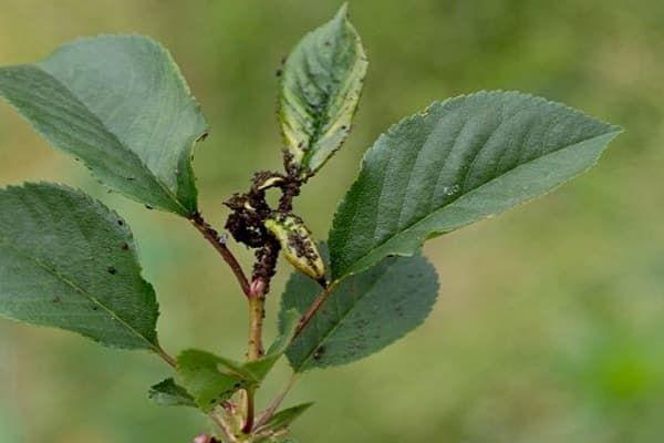 škodlivý hmyz