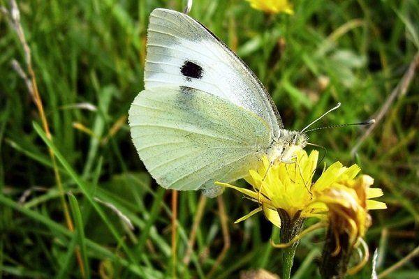 Kapusta motýľ