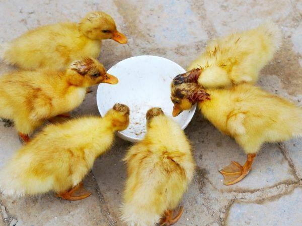Какво ядат патиците у дома