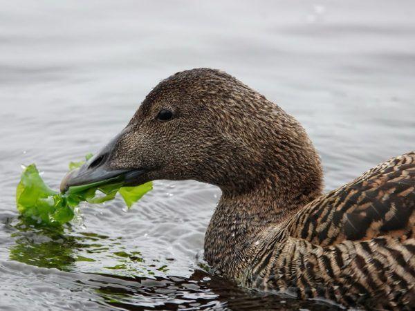 За да отглеждат бързо месо върху птицата или да увеличат производството на яйца, патиците трябва да бъдат хранени 2-3 пъти