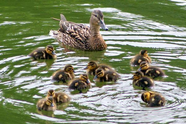 Как правилно да се хранят диви патици