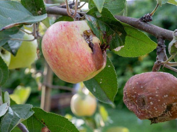 Чорний рак на яблунях - причини появи і методи лікування