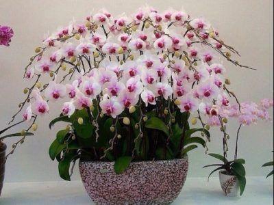 Какво да направите, ако на орхидеята се появят бели или други бъгове? Диагностика, лечение, профилактика