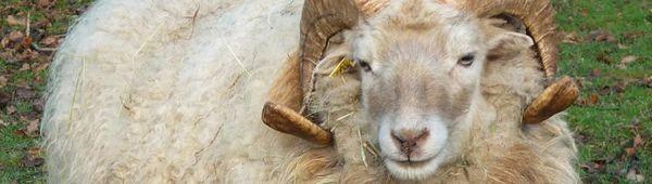 Цигайски овце: описание и особености на породата