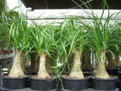 Nolin декоративно растение (bokarneya, бутилка дърво): снимка, домашни грижи, трансплантация, болести и вредители