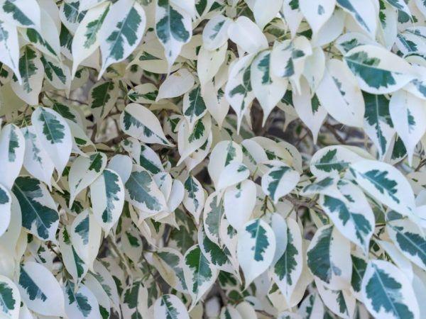 Ficus de dumbbell - декоративно домашно растение