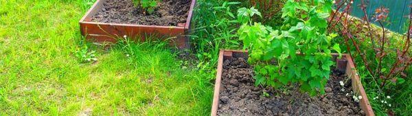 Unde să plantezi coacăze - la umbră sau la soare?