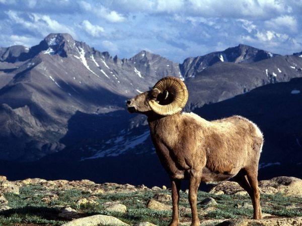 Алтайски планински овен - задачи за опазване и развитие на вида