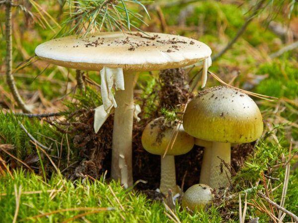 Бліда поганка - найбільш отруйний гриб