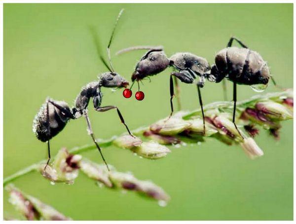 Хуманна борба с мравки на сайта - опит