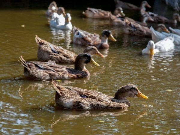 Характеристики на башкирската порода патици
