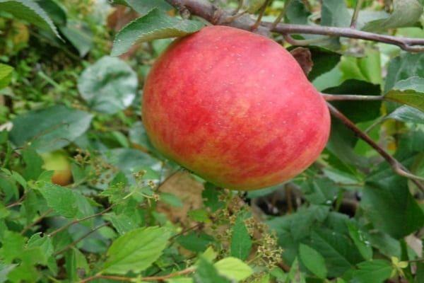 разсад от ябълково дърво