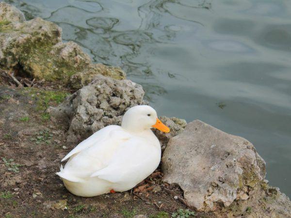 Режимът на хранене на патица Star 53 не се променя, докато расте