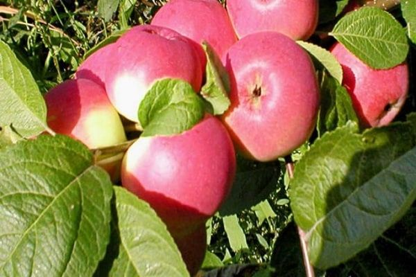 mladé jablone