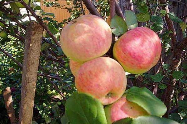 krásne jablká