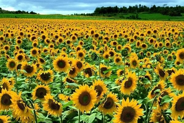 соняшник цвіте