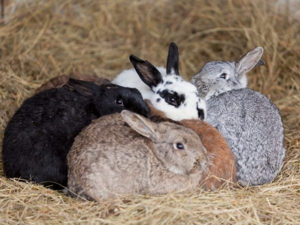 Изкуствено осеменяване на зайци