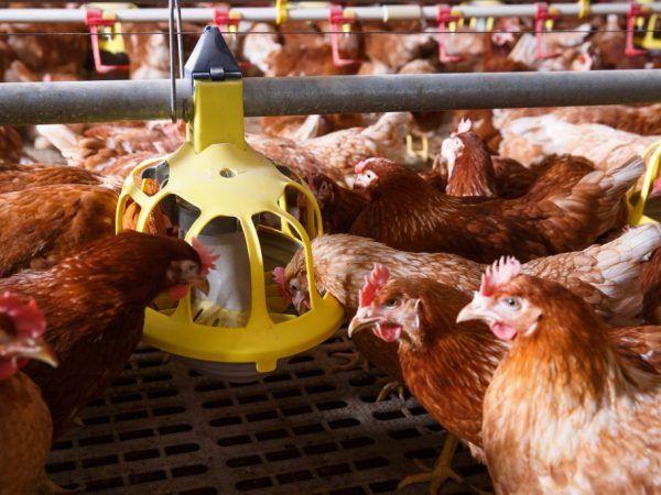 Автоматична хранилка за пилета