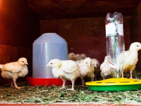 Най-лесната хранилка за пиле може да бъде направена от пластмасови бутилки