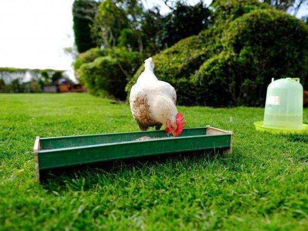 Правяне на пилета бройлери
