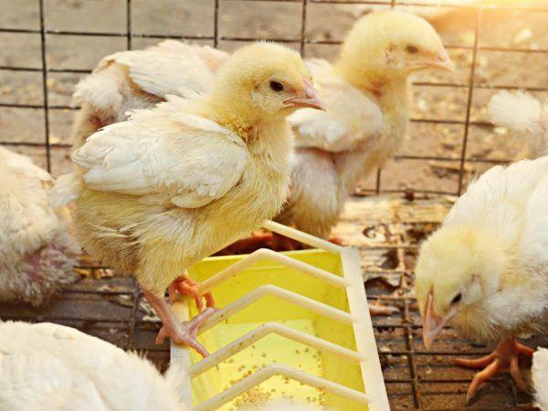 Тавичка за пилешко хранилка