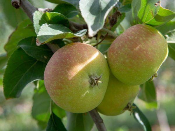 Яблуні для сибіру - який сорт вибрати для посадки