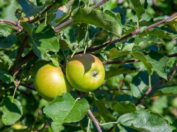 Яблуні на уралі - секрети посадки і вирощування здорових дерев