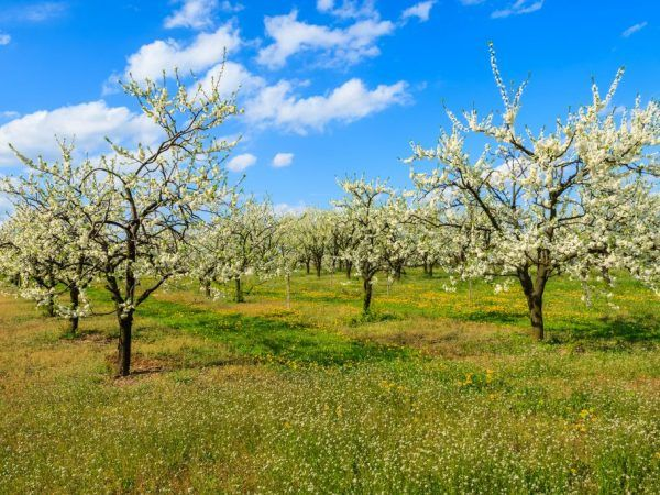 Ябълковото дърво героят - предимства на степен