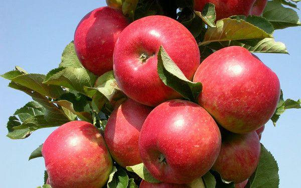 Ябълково дърво елена