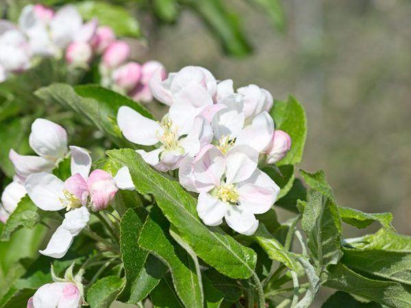 Ябълково дърво юли черненко - характеристики на сорта