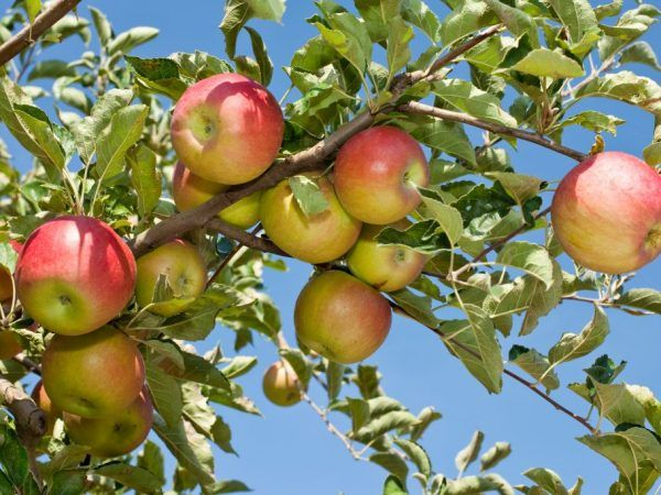 Яблуня імрус - соковитий і яскравий сорт