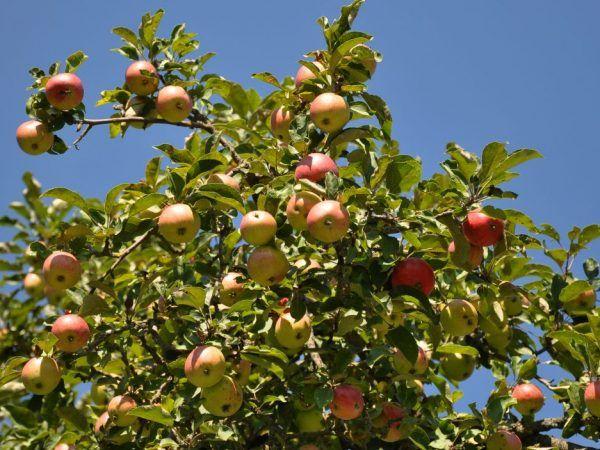 Есенна радост от ябълково дърво - любимата на градинарите