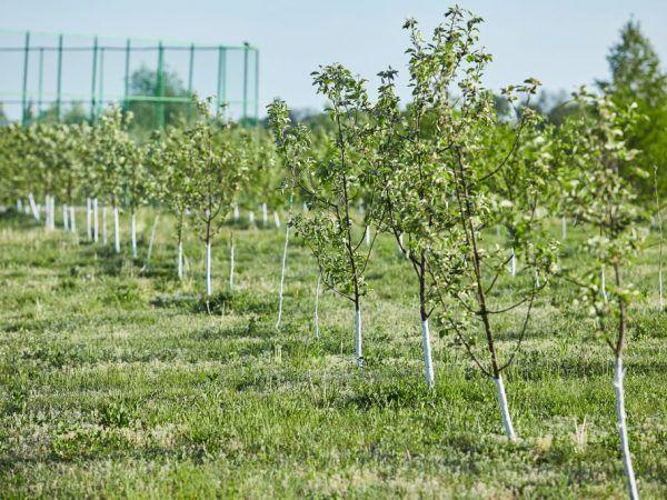 Ябълковите дървета се нуждаят от слънчева светлина