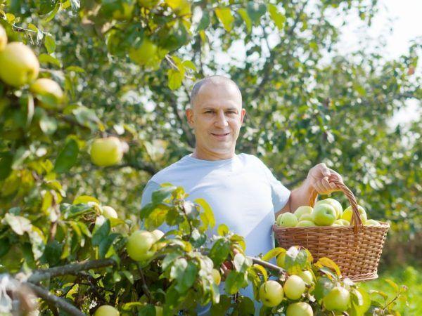 Ябълково дърво Stroyevskoe - правила за отглеждане