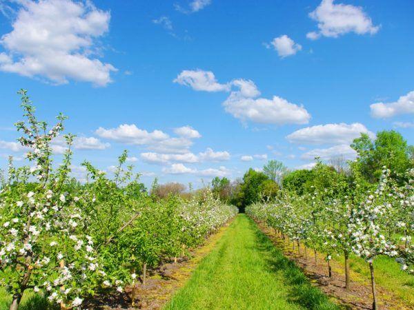 Ябълковите дървета трябва редовно да се поливат и торят