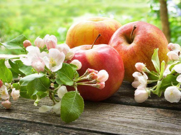 Яблуня ветеран - особливості вирощування