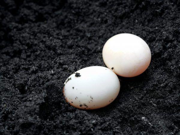 При повноцінному харчуванні і правильному догляді за рік одна качка знесе 90-100 яєць, але буває, коли кількість досягає 130 шт
