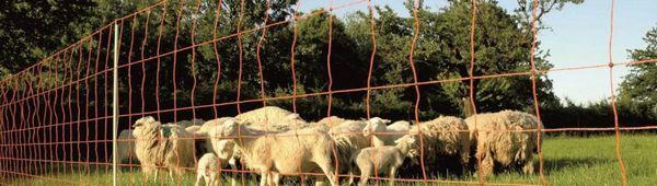 Електронният пастир за овце: предимства и недостатъци, процесът на свикване с овцете