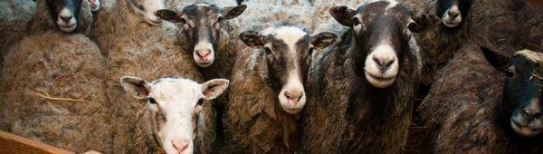 Естроза на овце - овчица: овце диагноза, симптоми на заболяването