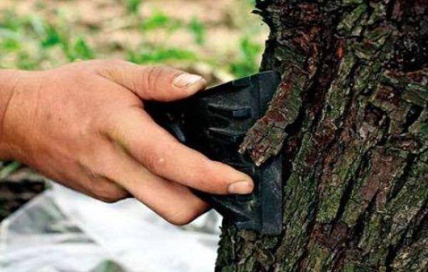 Jedným z preventívnych opatrení v boji proti treske škvrnitej je čistenie kmeňa starej kôry