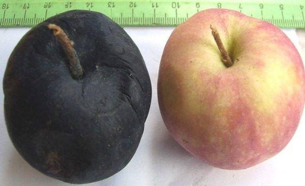 Zdravé jablko a ovocie postihnuté rakovinou čierneho