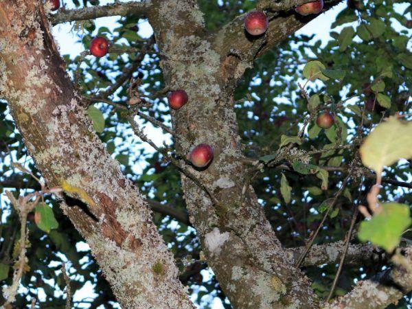 Как да се справим с кората на ябълковото дърво - съвети на градинарите